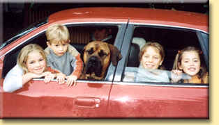 boerboel in car