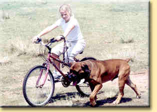 boerboel and bike
